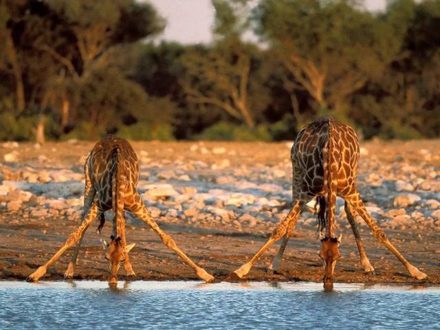 长颈鹿被玩坏了